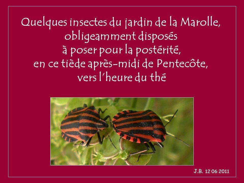 Quelques insectes du jardin de la Marolle, obligeamment disposés à poser pour la postérité, en ce tiède après-midi de Pentecôte, vers l'heure du thé J