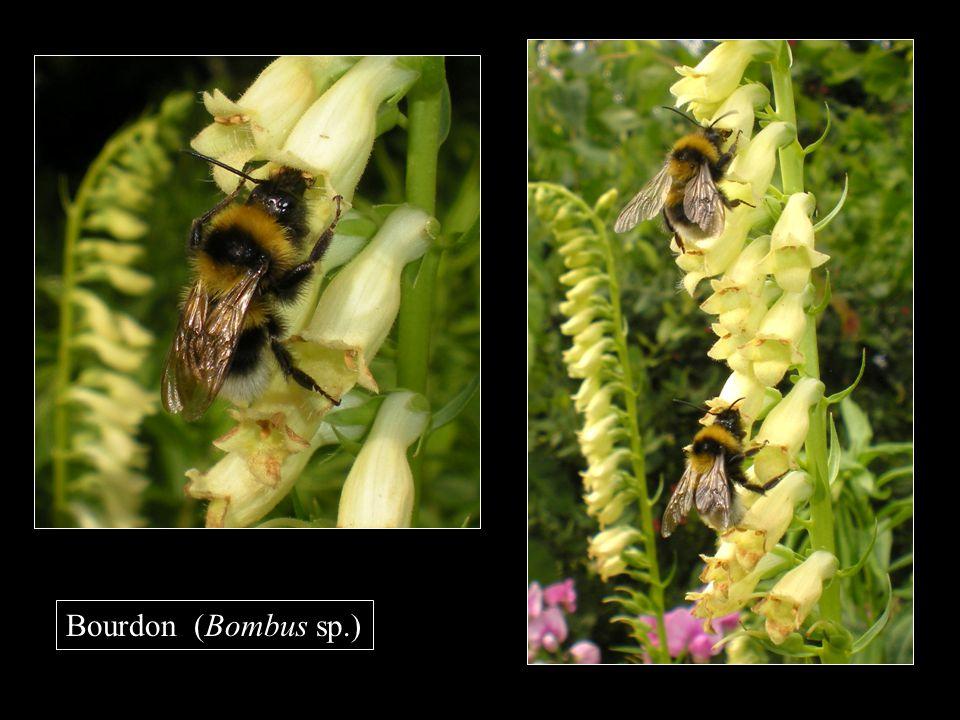 Bourdon (Bombus sp.)