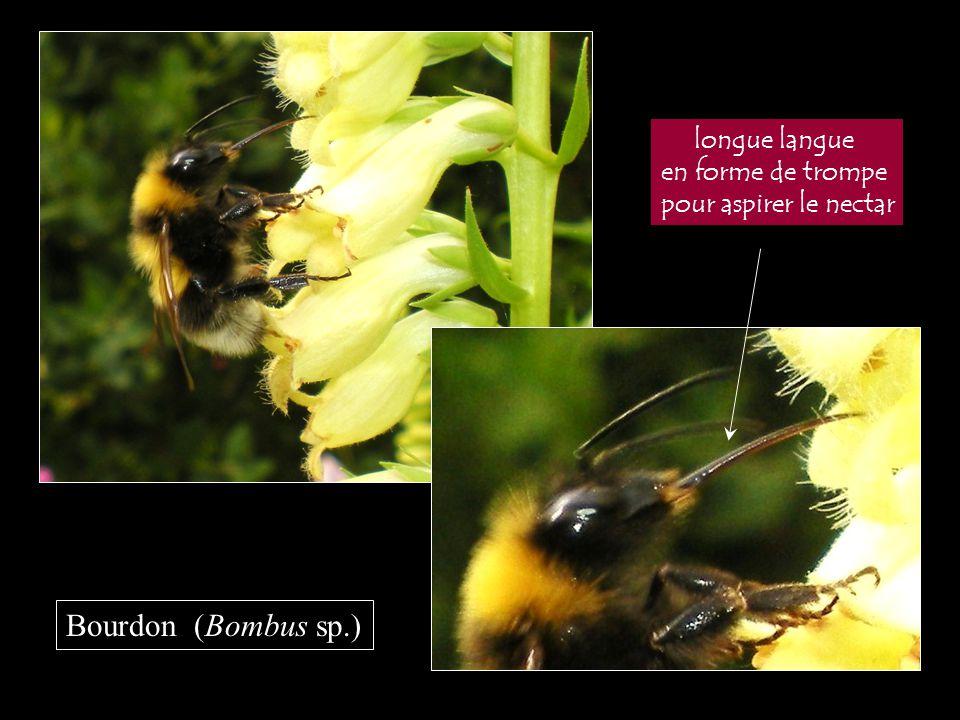longue langue en forme de trompe pour aspirer le nectar