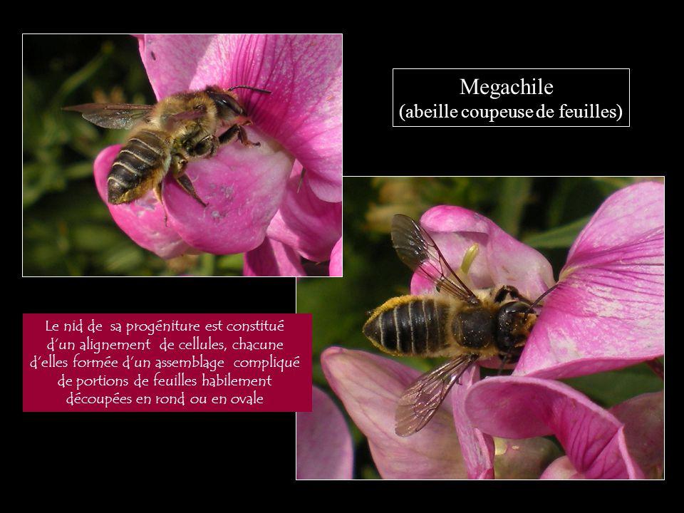 Megachile (abeille coupeuse de feuilles) Le nid de sa progéniture est constitué d'un alignement de cellules, chacune d'elles formée d'un assemblage co