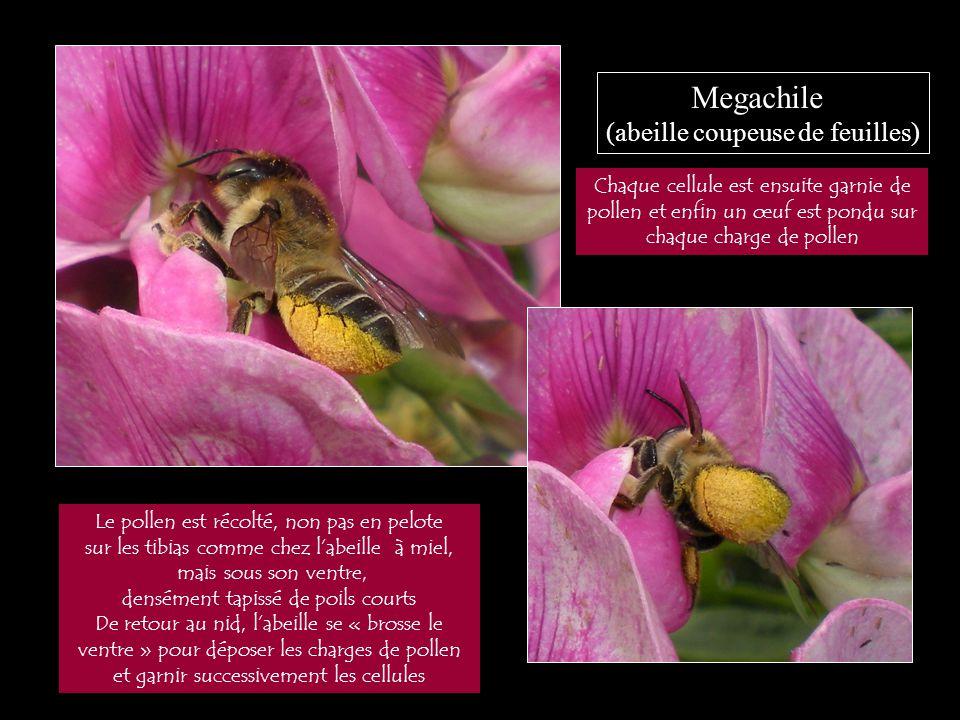 Megachile (abeille coupeuse de feuilles) Le pollen est récolté, non pas en pelote sur les tibias comme chez l'abeille à miel, mais sous son ventre, de
