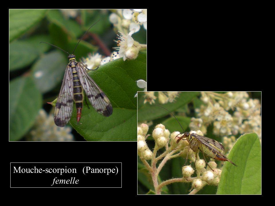 Mouche-scorpion (Panorpe) femelle