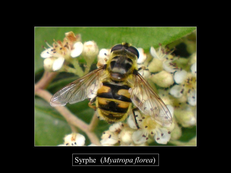 Syrphe (Myatropa florea)