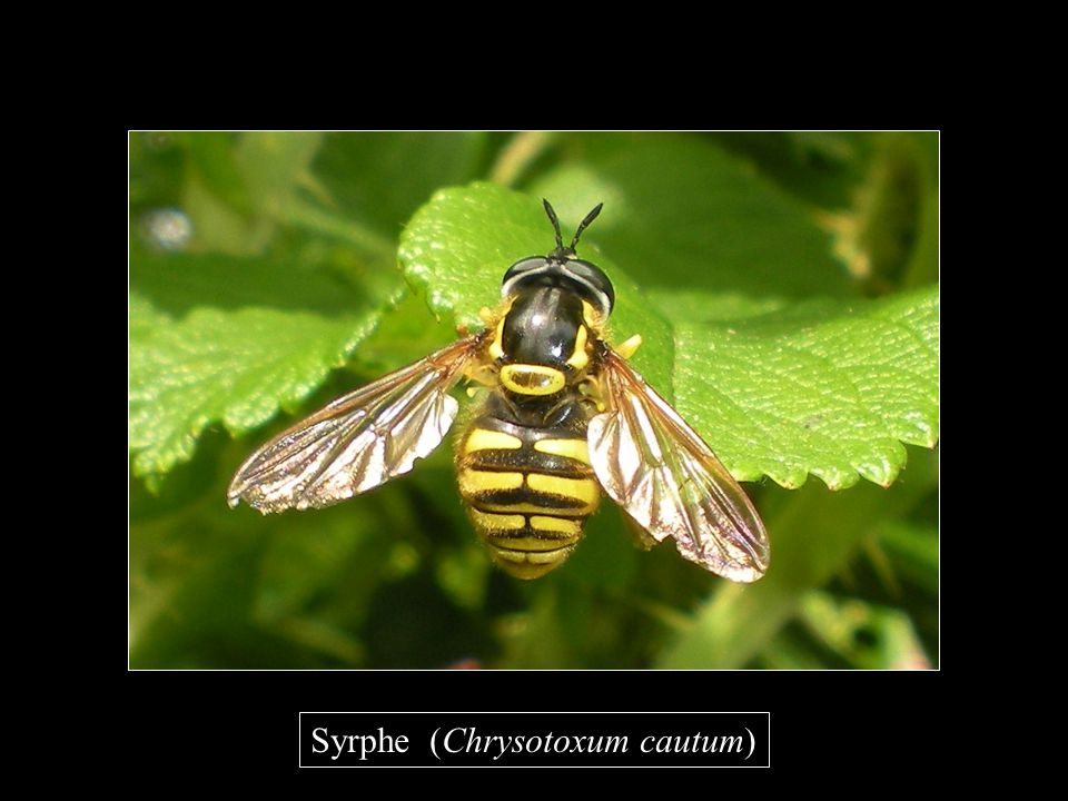 Syrphe (Chrysotoxum cautum)