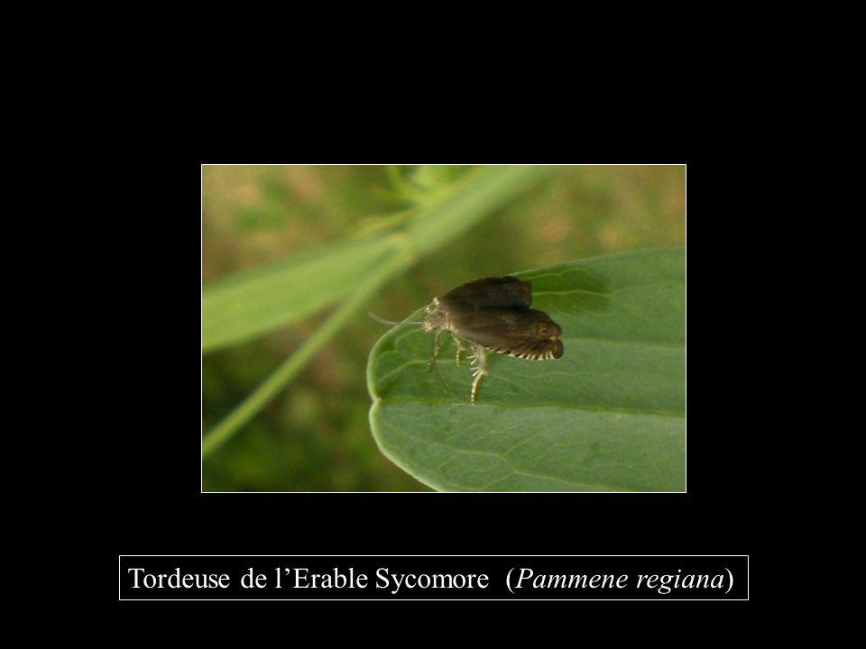 Tordeuse de l'Erable Sycomore (Pammene regiana)