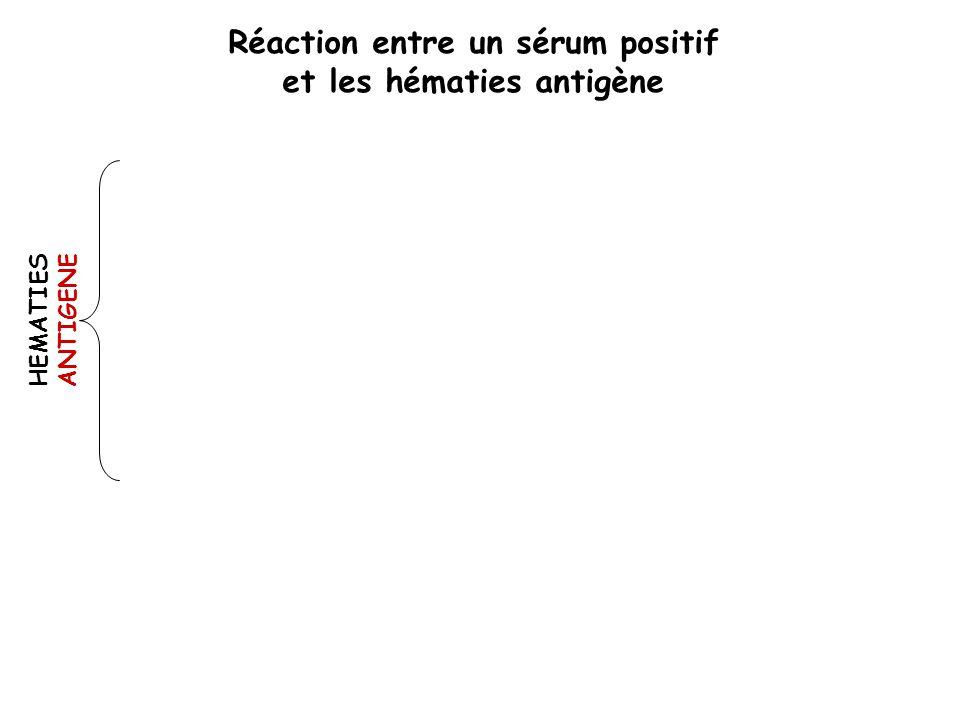 HEMATIES ANTIGENE Réaction entre un sérum positif et les hématies antigène