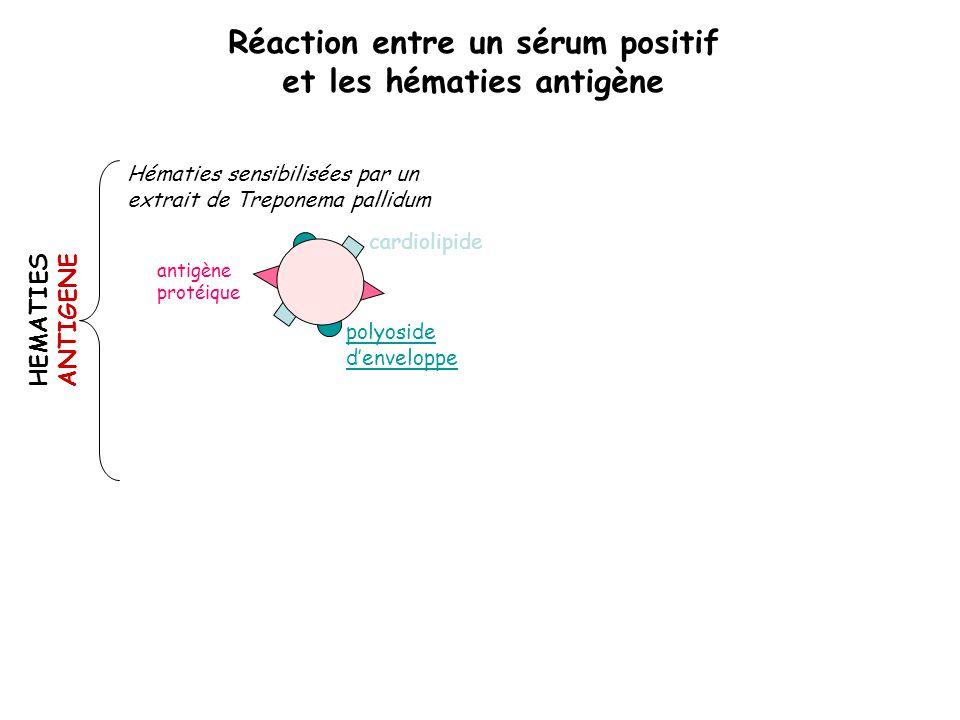 cardiolipide polyoside d'enveloppe antigène protéique Hématies sensibilisées par un extrait de Treponema pallidum HEMATIES ANTIGENE Réaction entre un