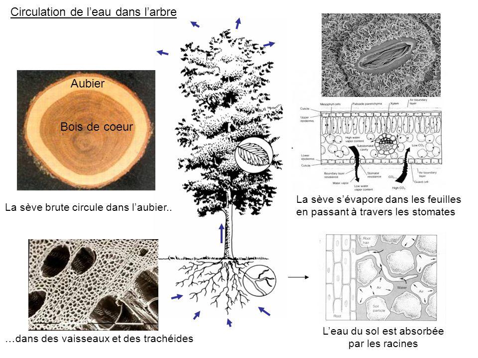 Circulation de l'eau dans l'arbre L'eau du sol est absorbée par les racines Aubier Bois de coeur La sève brute circule dans l'aubier.. …dans des vaiss
