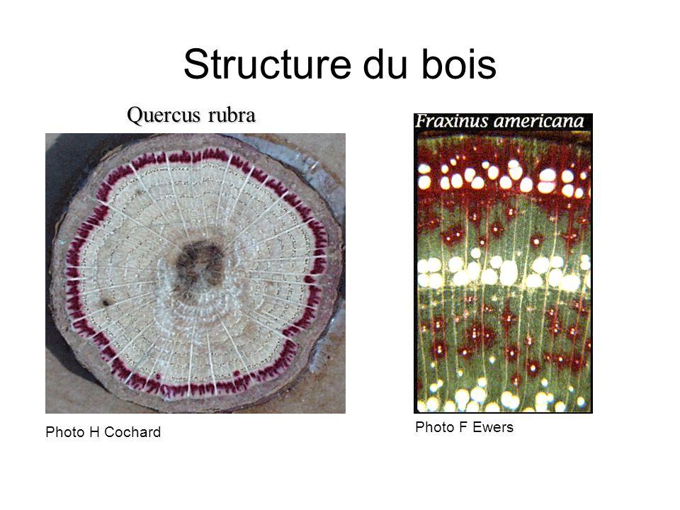 Quercus rubra Structure du bois Photo H Cochard Photo F Ewers