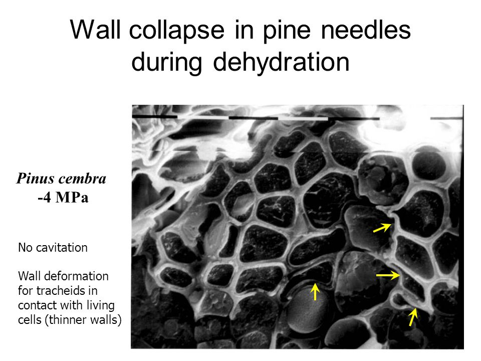 Wall collapse in pine needles during dehydration Pinus cembra -4 MPa No cavitation Wall deformation for tracheids in contact with living cells (thinne