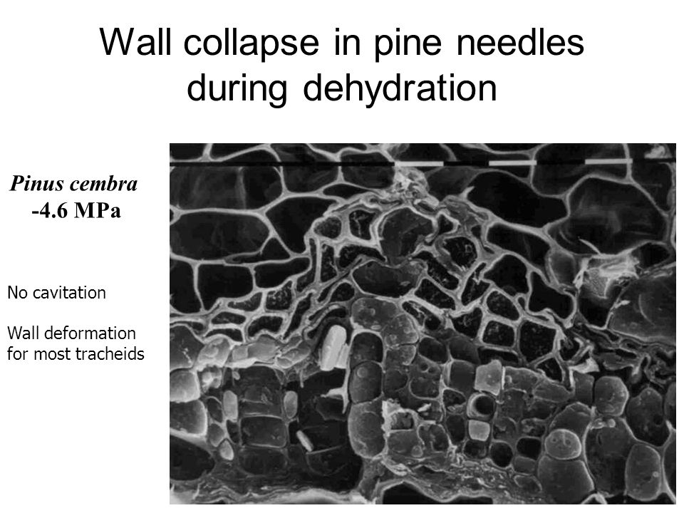 Wall collapse in pine needles during dehydration Pinus cembra -4.6 MPa No cavitation Wall deformation for most tracheids