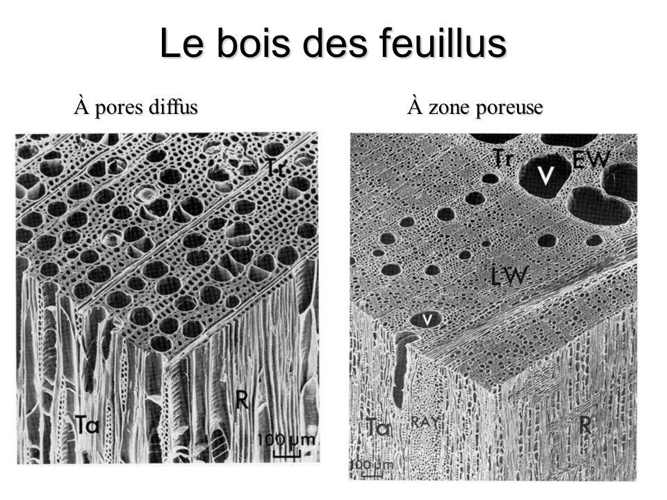 Le bois des feuillus À pores diffus À zone poreuse