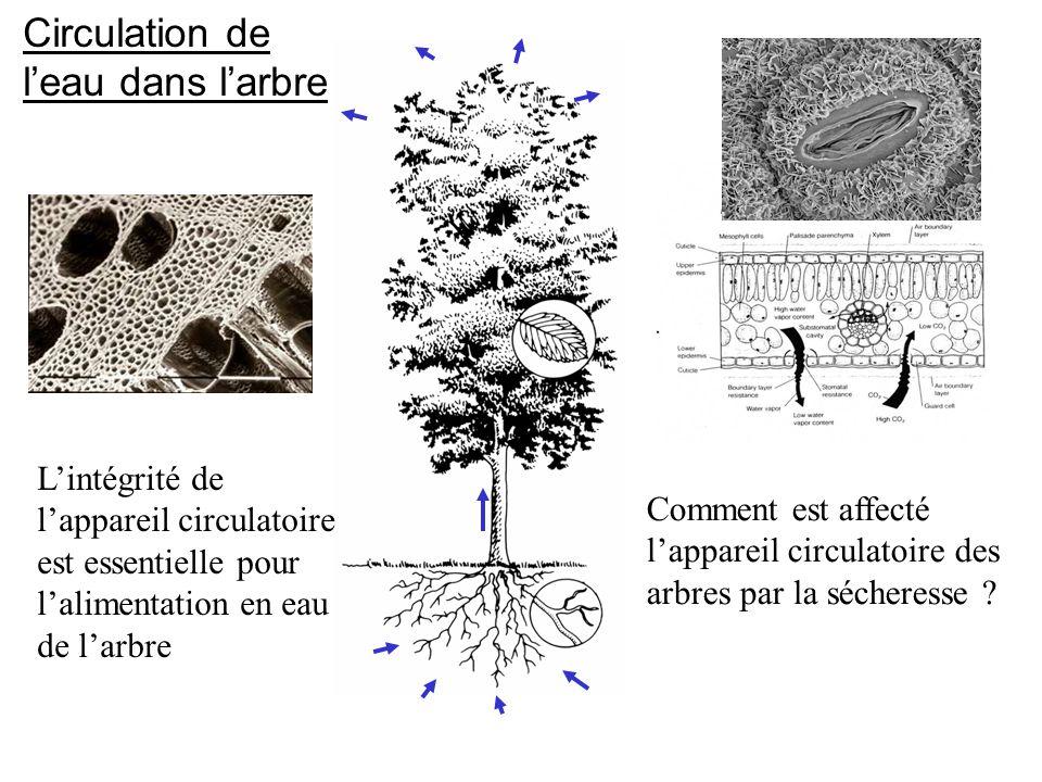 Circulation de l'eau dans l'arbre Comment est affecté l'appareil circulatoire des arbres par la sécheresse ? L'intégrité de l'appareil circulatoire es