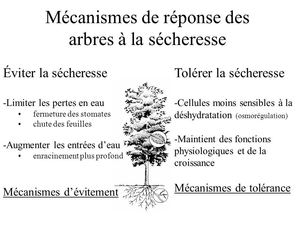 Mécanismes de réponse des arbres à la sécheresse Éviter la sécheresse -Limiter les pertes en eau fermeture des stomates chute des feuilles -Augmenter