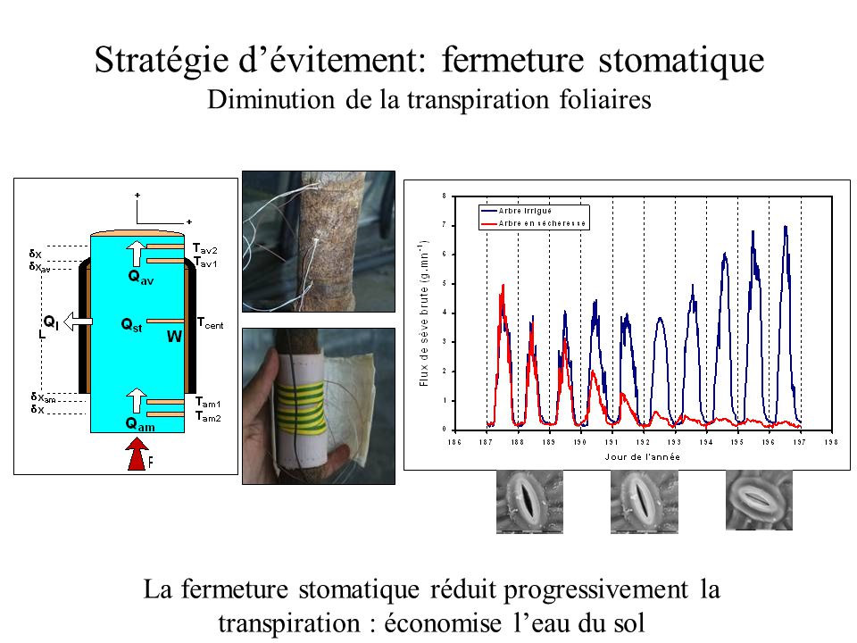 Stratégie d'évitement: fermeture stomatique Diminution de la transpiration foliaires La fermeture stomatique réduit progressivement la transpiration :