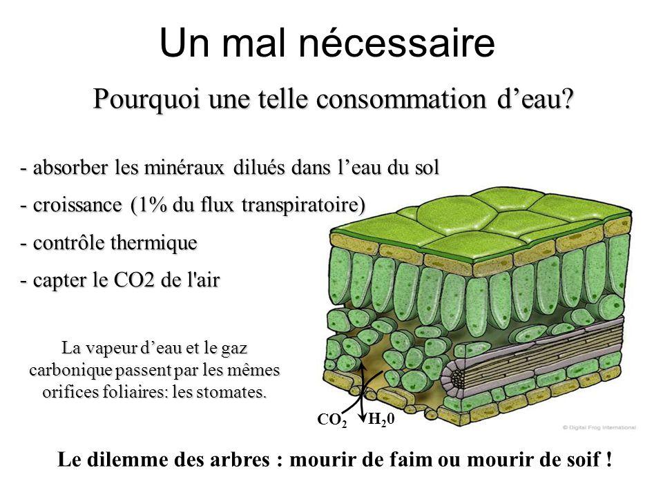 H20H20 CO 2 Un mal nécessaire - absorber les minéraux dilués dans l'eau du sol - croissance (1% du flux transpiratoire) - contrôle thermique - capter le CO2 de l air Pourquoi une telle consommation d'eau.