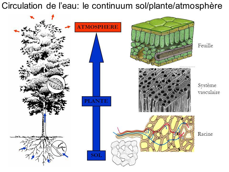 Circulation de l'eau: le continuum sol/plante/atmosphère SOL Racine Feuille Système vasculaire PLANTE ATMOSPHERE