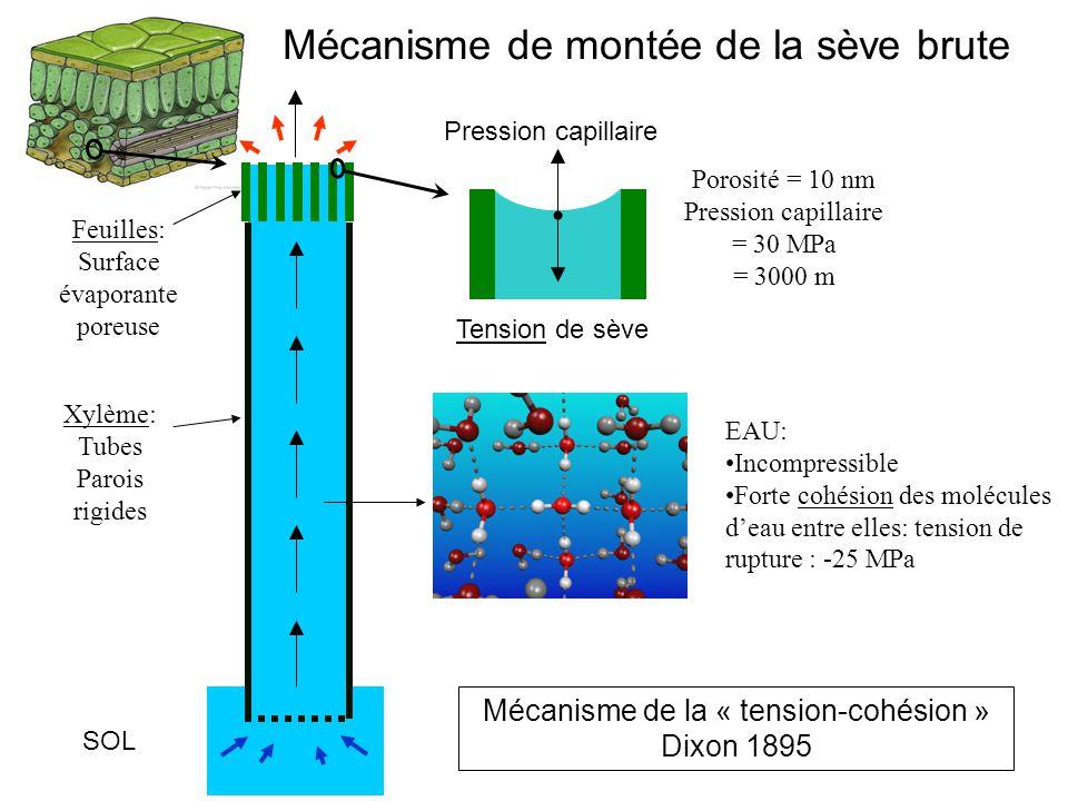 Xylème: Tubes Parois rigides Feuilles: Surface évaporante poreuse EAU: Incompressible Forte cohésion des molécules d'eau entre elles: tension de ruptu