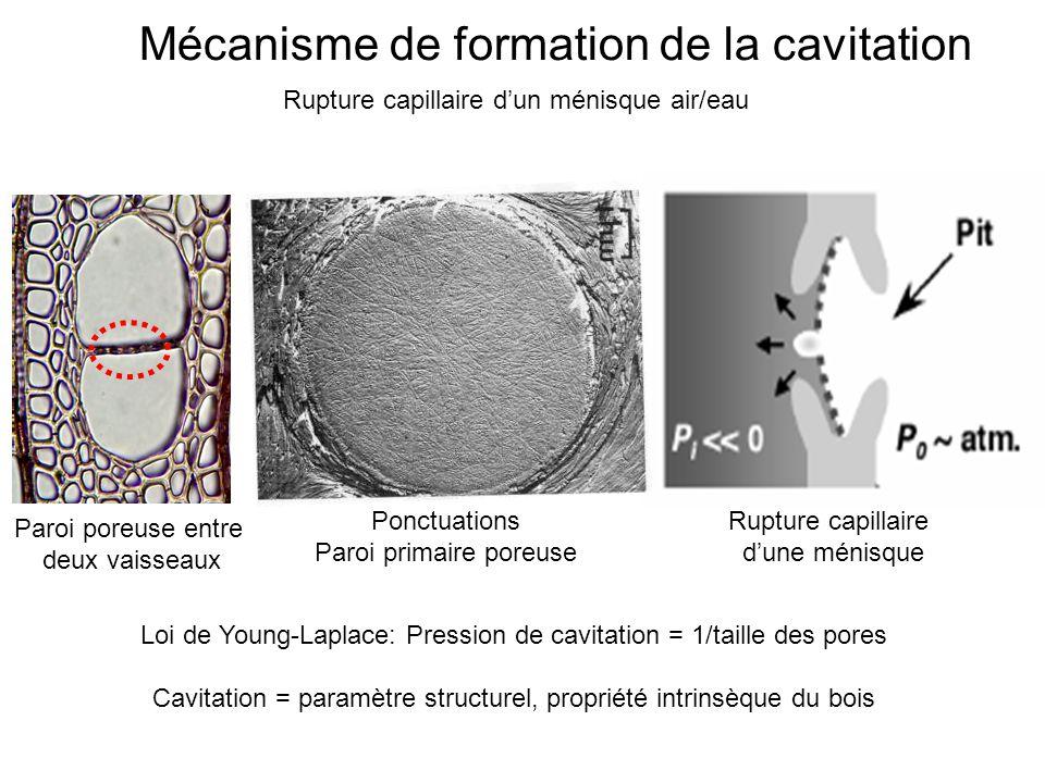 Mécanisme de formation de la cavitation Rupture capillaire d'un ménisque air/eau Paroi poreuse entre deux vaisseaux Ponctuations Paroi primaire poreus