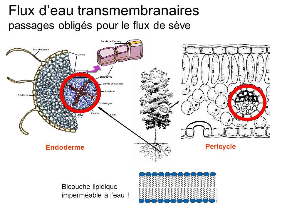 Flux d'eau transmembranaires passages obligés pour le flux de sève Bicouche lipidique imperméable à l'eau ! Endoderme Pericycle