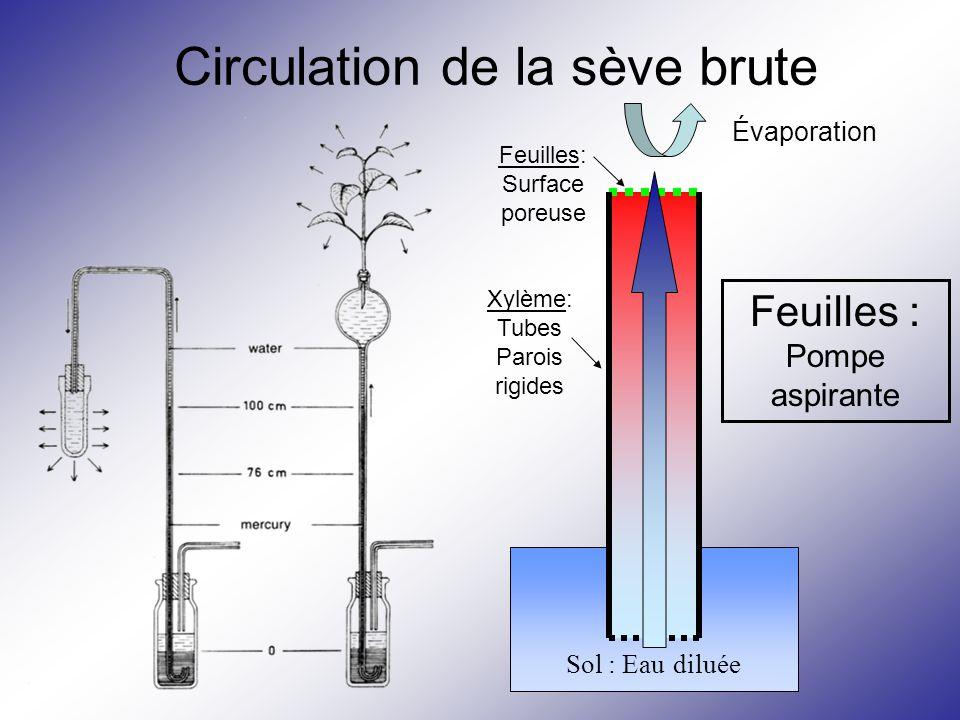 Circulation de la sève brute Évaporation Sol : Eau diluée Xylème: Tubes Parois rigides Feuilles: Surface poreuse Feuilles : Pompe aspirante