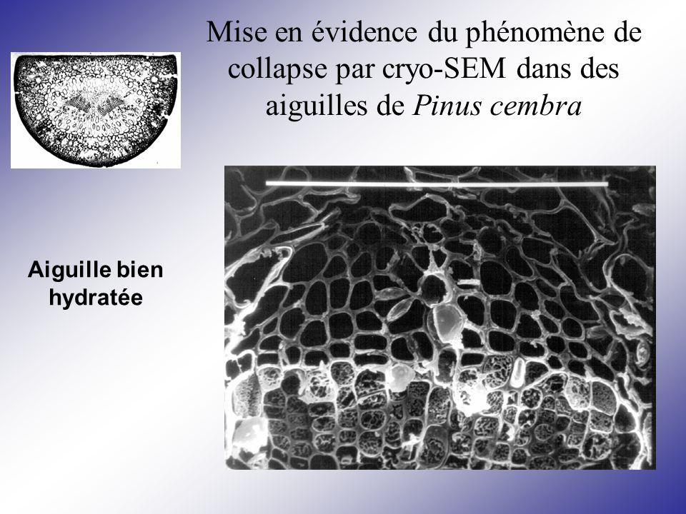 Mise en évidence du phénomène de collapse par cryo-SEM dans des aiguilles de Pinus cembra Aiguille bien hydratée