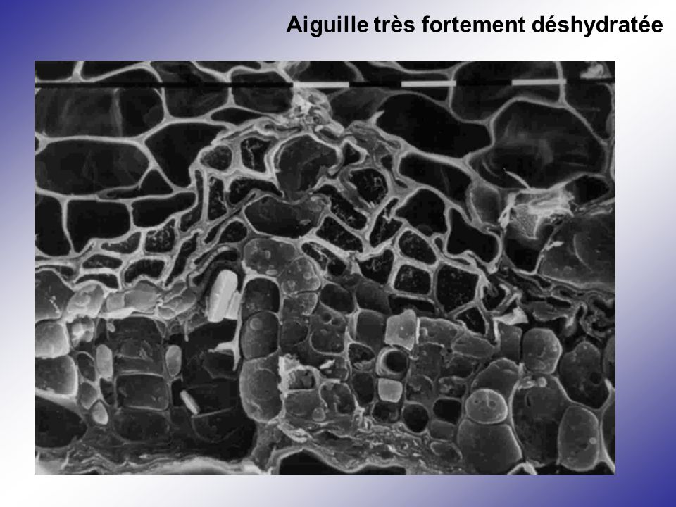 Pinus cembra -4.6 MPa Aiguille très fortement déshydratée