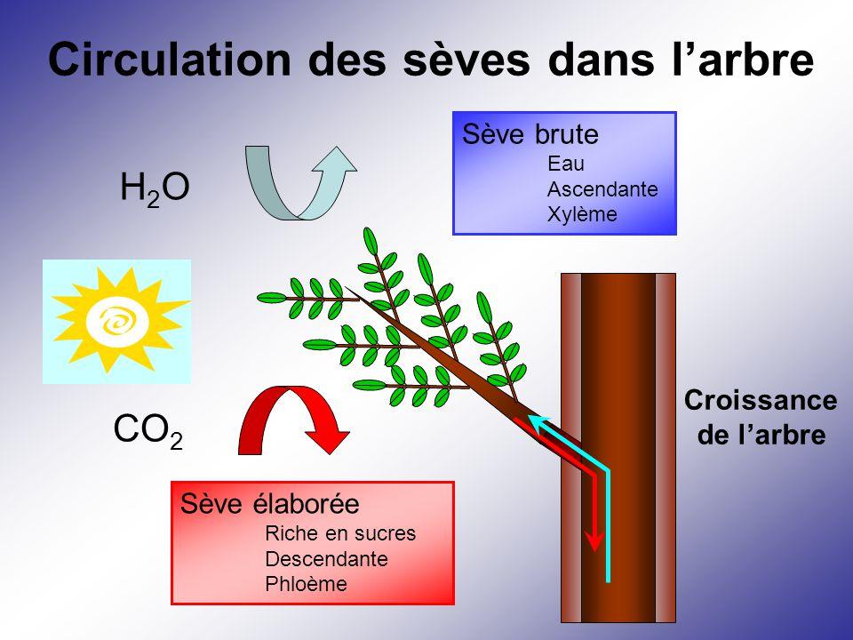 Circulation des sèves dans l'arbre CO 2 Sève élaborée Riche en sucres Descendante Phloème H2OH2O Sève brute Eau Ascendante Xylème Croissance de l'arbr