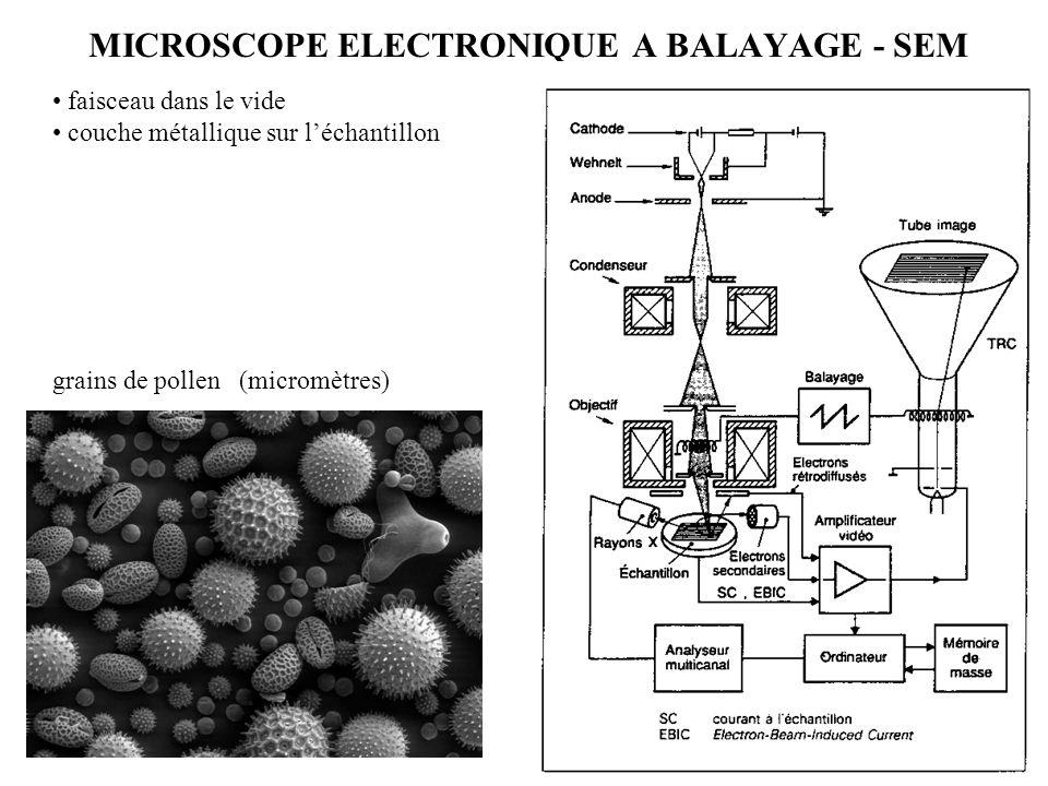 MICROSCOPE ELECTRONIQUE A BALAYAGE - SEM faisceau dans le vide couche métallique sur l'échantillon grains de pollen (micromètres)
