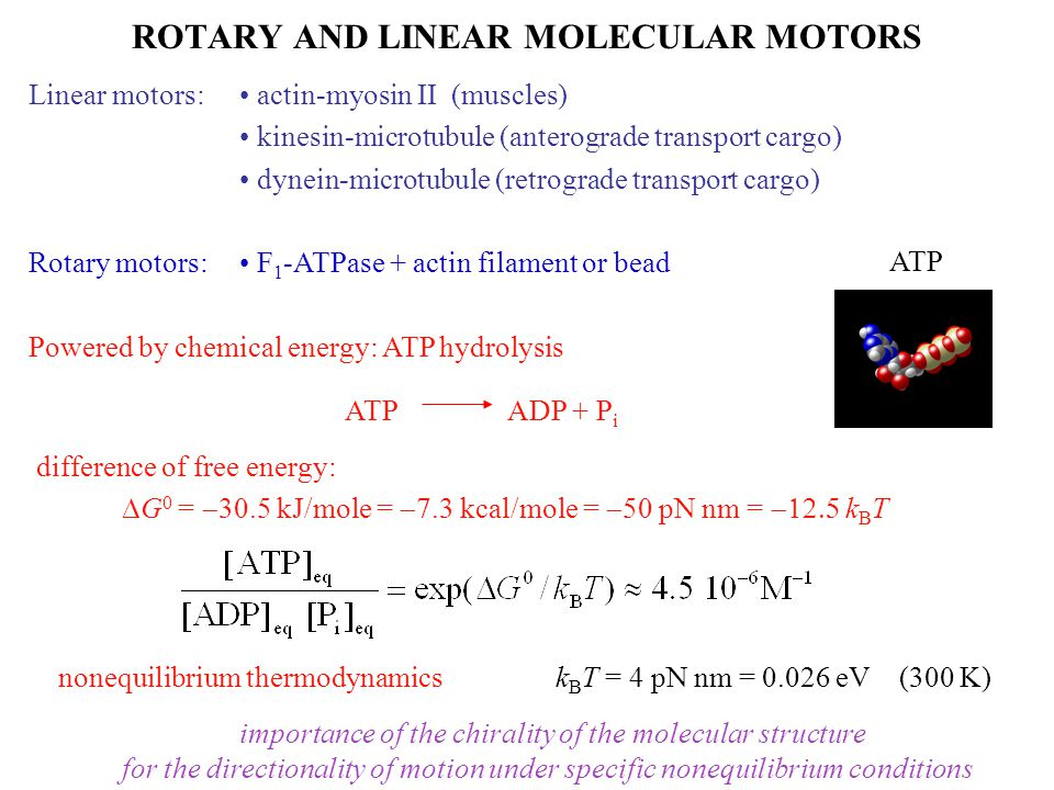 ROTARY AND LINEAR MOLECULAR MOTORS Linear motors: actin-myosin II (muscles) kinesin-microtubule (anterograde transport cargo) dynein-microtubule (retrograde transport cargo) Rotary motors: F 1 -ATPase + actin filament or bead Powered by chemical energy: ATP hydrolysis ATP ADP + P i difference of free energy:  G 0 =  30.5 kJ/mole =  7.3 kcal/mole =  50 pN nm =  k B T nonequilibrium thermodynamicsk B T = 4 pN nm = 0.026 eV (300 K) importance of the chirality of the molecular structure for the directionality of motion under specific nonequilibrium conditions ATP