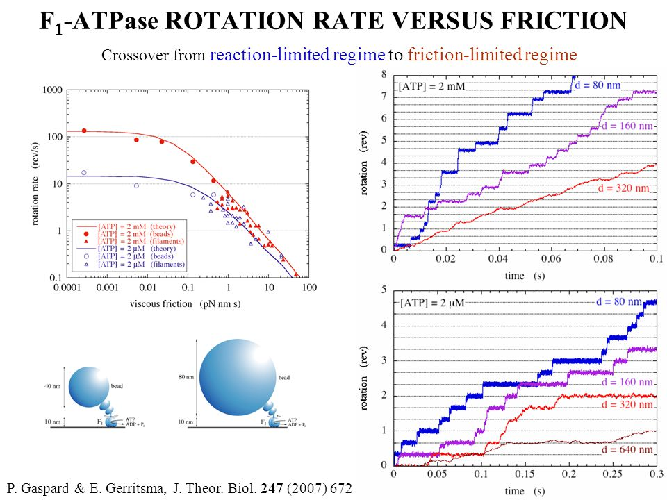 F 1 -ATPase ROTATION RATE VERSUS FRICTION Crossover from reaction-limited regime to friction-limited regime P. Gaspard & E. Gerritsma, J. Theor. Biol.