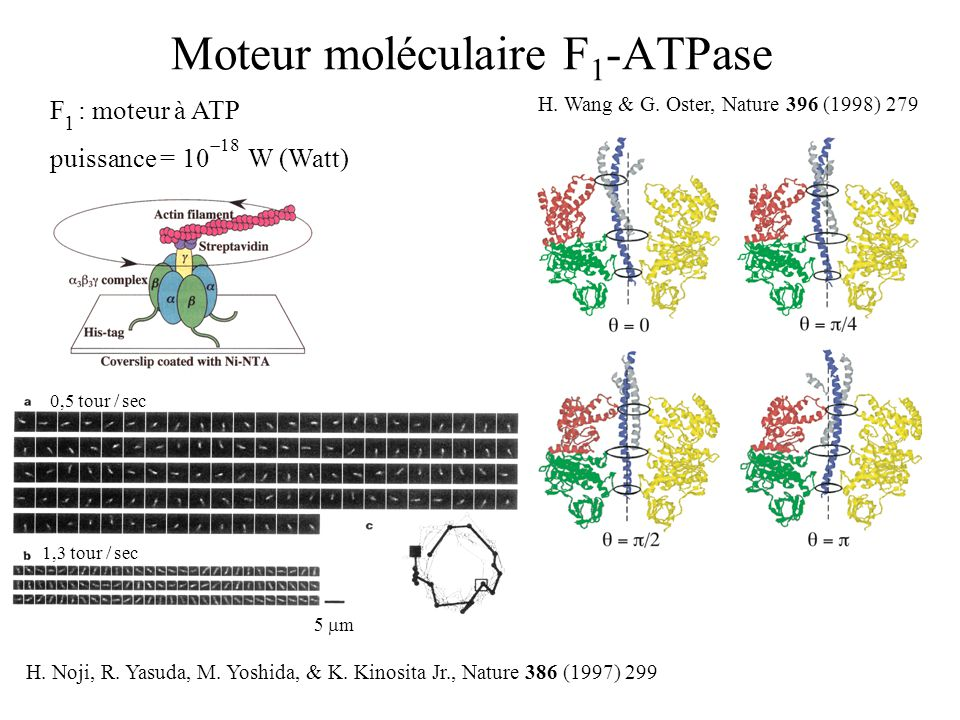 F 1 -ATPase UNDER AN EXTERNAL TORQUE (e.g.from F o ) stall torque ATP synthesis ATP consumption H.