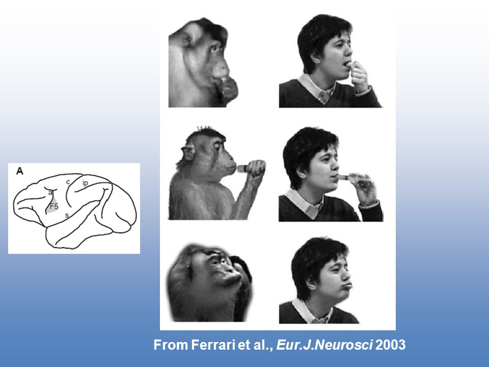 From Ferrari et al., Eur.J.Neurosci 2003