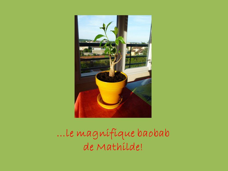 …le magnifique baobab de Mathilde!