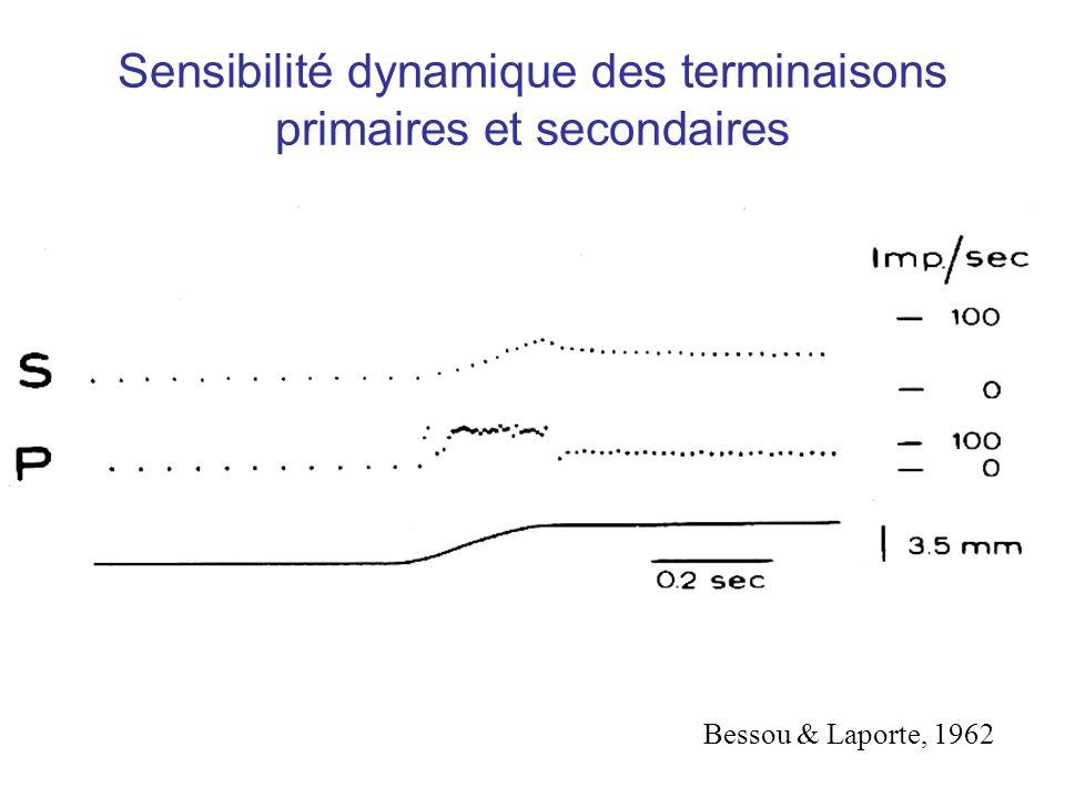 Sensibilité dynamique des terminaisons primaires et secondaires Bessou & Laporte, 1962