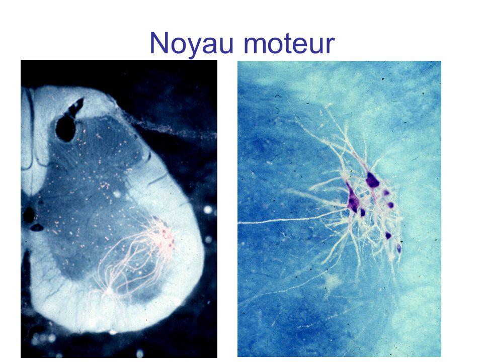Types physiologiques des unités motrices