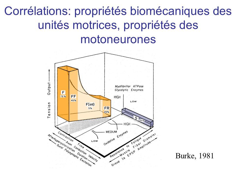 Corrélations: propriétés biomécaniques des unités motrices, propriétés des motoneurones Burke, 1981