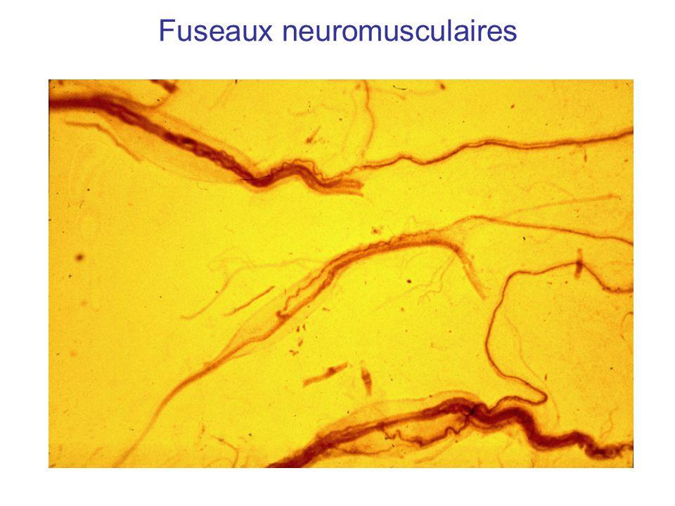 Fuseaux neuromusculaires
