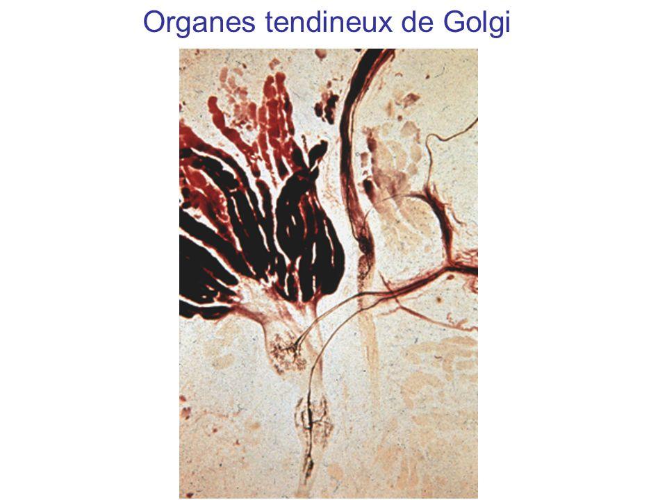 Organes tendineux de Golgi