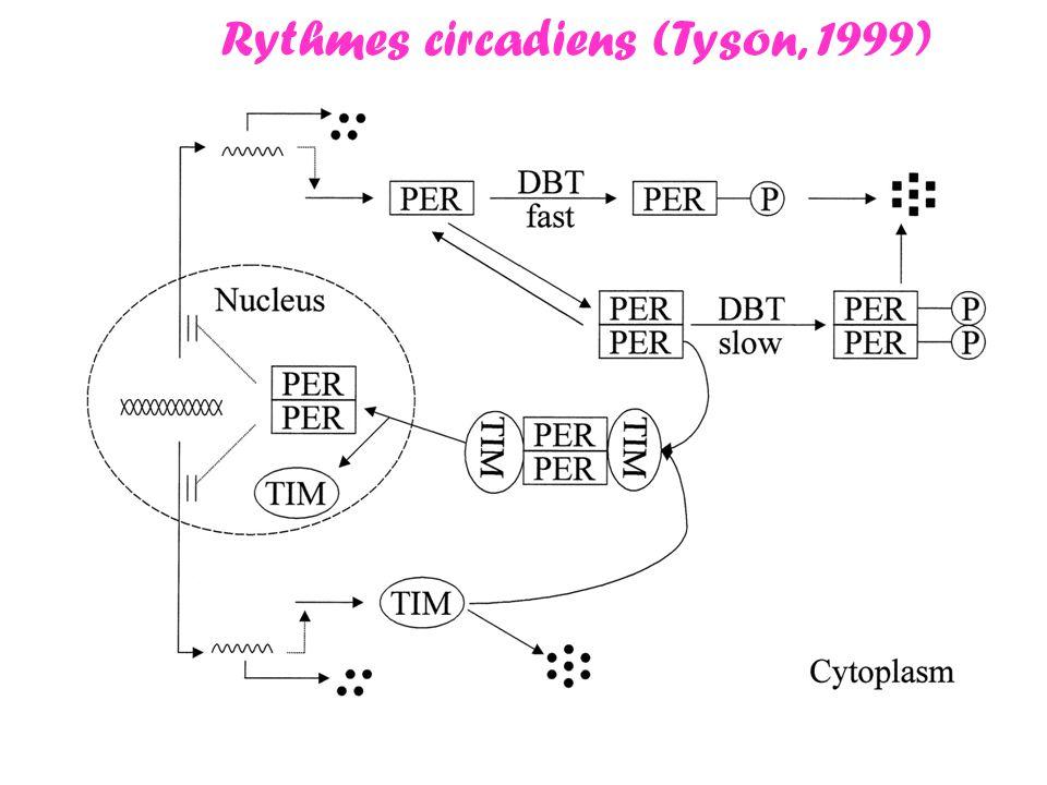 Rythmes circadiens (Tyson, 1999)