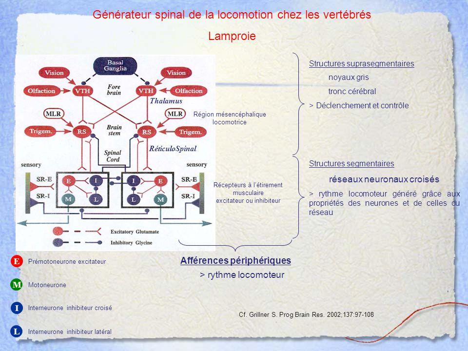 E M I L Prémotoneurone excitateur Motoneurone Interneurone inhibiteur croisé Interneurone inhibiteur latéral Thalamus RéticuloSpinal Récepteurs à l'ét