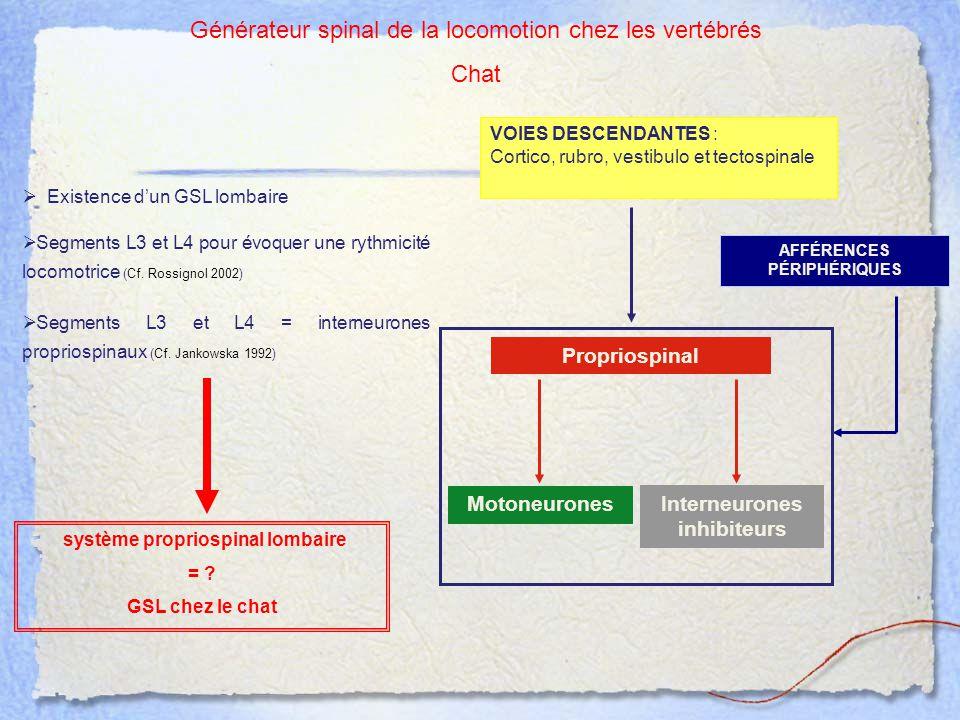  Existence d'un GSL lombaire système propriospinal lombaire = ? GSL chez le chat  Segments L3 et L4 pour évoquer une rythmicité locomotrice (Cf. Ros