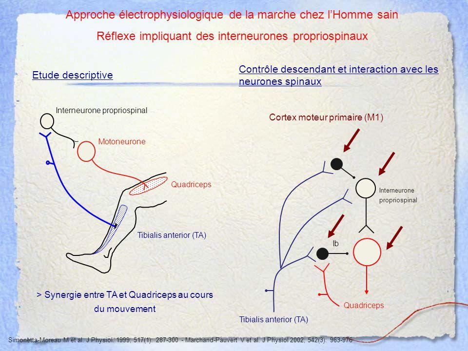 Interneurone propriospinal Quadriceps Tibialis anterior (TA) Etude descriptive > Synergie entre TA et Quadriceps au cours du mouvement Approche électr