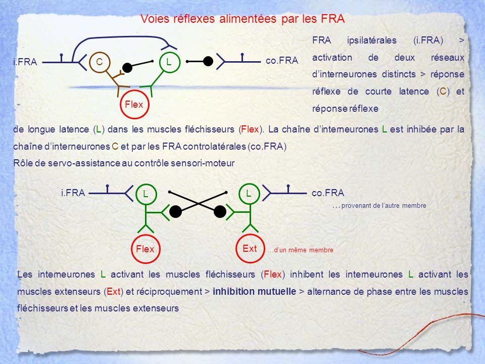 Voies réflexes alimentées par les FRA FRA ipsilatérales (i.FRA) > activation de deux réseaux d'interneurones distincts > réponse réflexe de courte lat