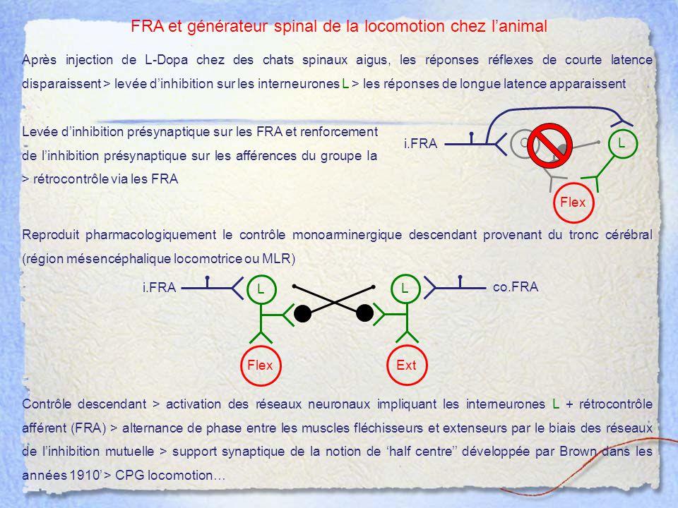 FRA et générateur spinal de la locomotion chez l'animal Flex i.FRA Ext co.FRA L L Après injection de L-Dopa chez des chats spinaux aigus, les réponses