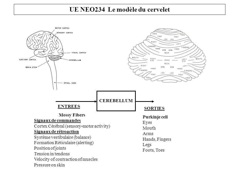 CEREBELLUM ENTREES SORTIES Mossy Fibers Signaux de commandes Cortex Cérébral (sensory-motor activity) Signaux de rétroaction Système vestibulaire (balance) Formation Réticulaire (alerting) Position of joints Tension in tendons Velocity of contraction of muscles Pressure on skin Purkinje cell Eyes Mouth Arms Hands, Fingers Legs Foots, Toes UE NEO234 Le modèle du cervelet