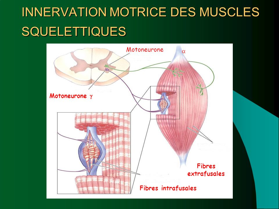 INNERVATION MOTRICE DES MUSCLES SQUELETTIQUES Motoneurone  Fibres intrafusales Fibres extrafusales Motoneurone 