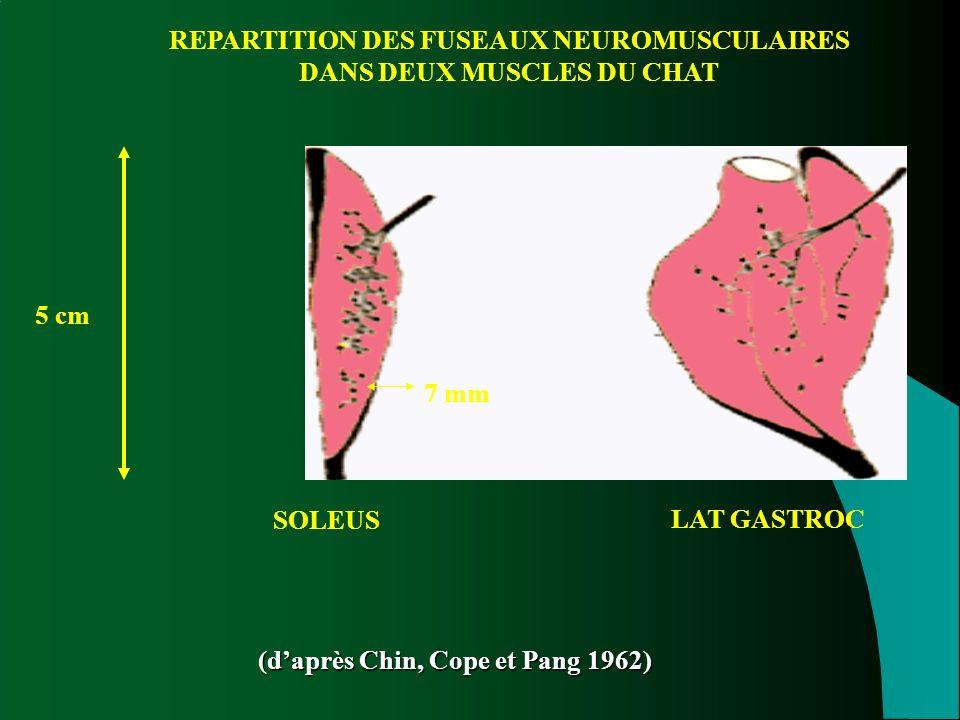 REPARTITION DES FUSEAUX NEUROMUSCULAIRES DANS DEUX MUSCLES DU CHAT SOLEUS LAT GASTROC (d'après Chin, Cope et Pang 1962) 5 cm 7 mm