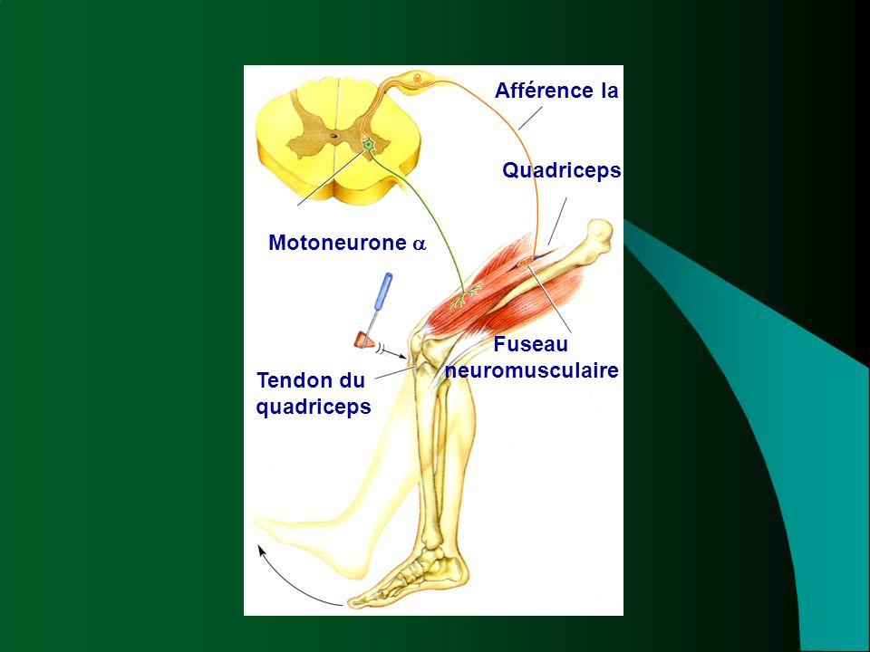 Afférence Ia Motoneurone  Quadriceps Fuseau neuromusculaire Tendon du quadriceps