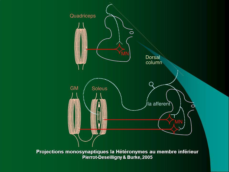 Projections monosynaptiques Ia Hétéronymes au membre inférieur Pierrot-Deseilligny & Burke, 2005